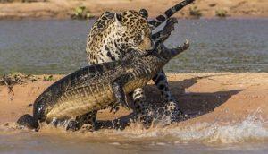 jaguar cazando caiman