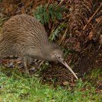 kiwi marron