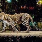Leopardo paseando por Bombay