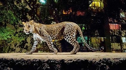 leopardo paseando bombay