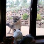 Gato haciendo frente a un puma