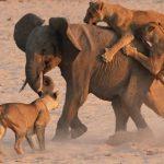 Manada de leones cazando elefante en la noche