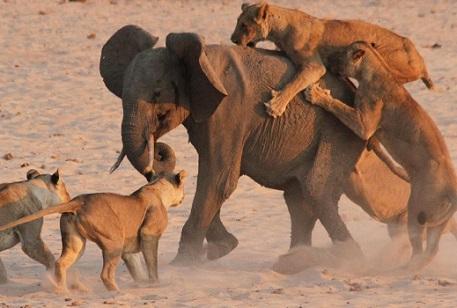 leones cazando elefante