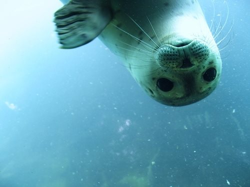 blue planet ii foca