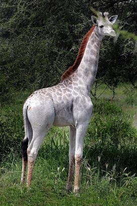 jirafa blanca kenia 2017