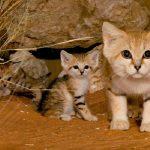 Gatos del desierto salvajes grabados por primera vez