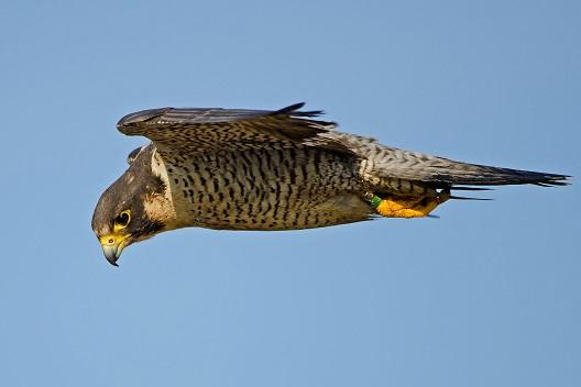 halcon peregrino