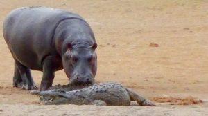 hipopotamo cocodrilo