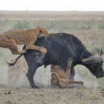 Leones cazando un bufalo frente a turistas