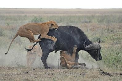 leones cazando bufalo