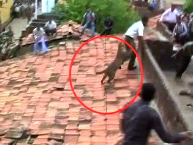 Leopardo atacando a la gente en India
