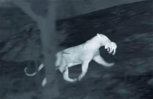 leopardo cazando cria jabali