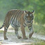 tigre kanha