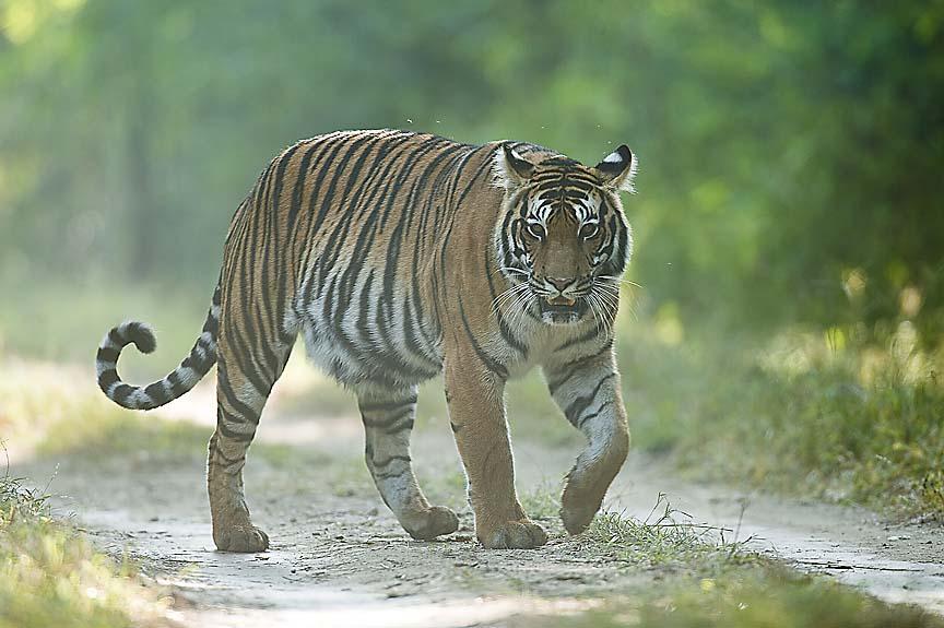 Documental de animales – Kanha, la Tierra del tigre (HD)