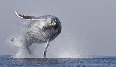 Ballena jorobada a punto de aterrizar a bordo