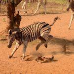 Cebra patea a un joven jabali