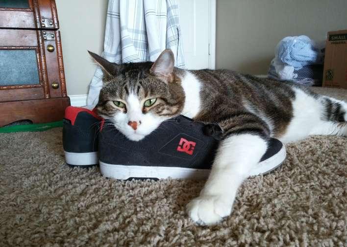 gato zapatilla