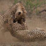 Cuatro guepardos atacando a una hembra