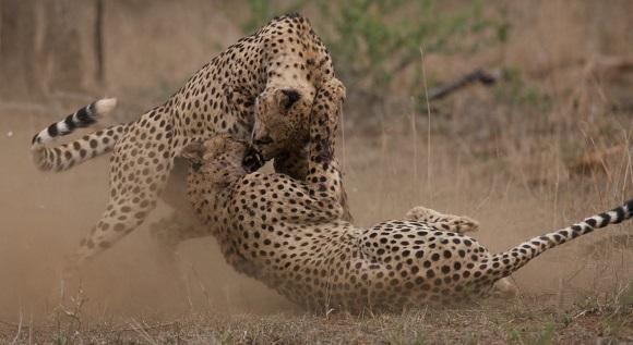 guepardos peleando