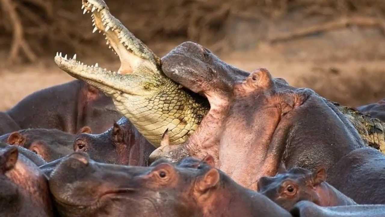 hipopotamos cocodrilo