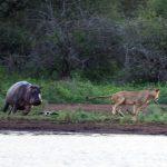 Documental – Guerra territorial: leones e hipopótamos