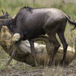 Leona cazando un ñu en el Masai Mara