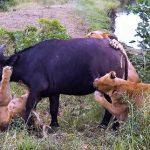 Bufalos expulsan a leones para despedir a una muerta