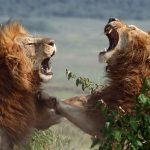 Breve pelea de leones en el Masai Mara