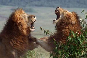 leones peleando
