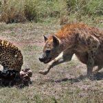 Leopardo le roba comida a las hienas y sale pitando
