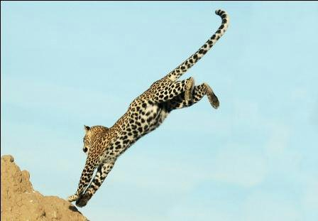 leopardo saltando