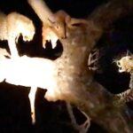 Leopardos peleando por comida. Las hienas a la espera