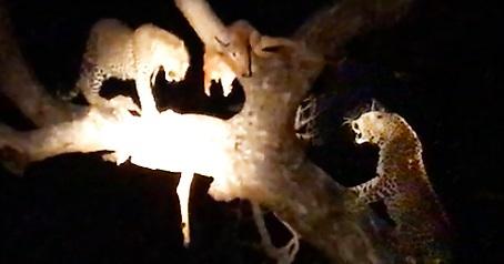 leopardos peleando en la noche