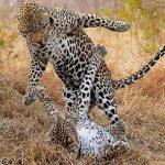 Espectacular pelea de leopardos en Masai Mara