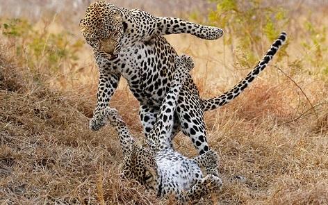 leopardos peleando masai mara