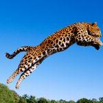 Leopardo pasando un rio de un salto