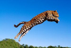 leopardos saltando