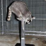 Los mapaches también pasan el test de inteligencia