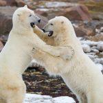 osos polares peleando