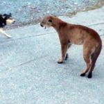 Corajudos perros haciendo frente a un puma