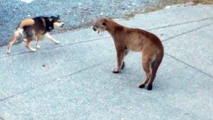 puma perro