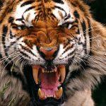 Joven tigre reta a su padre