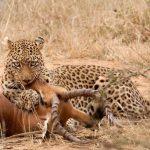 Leopardo cazando una impala preñada