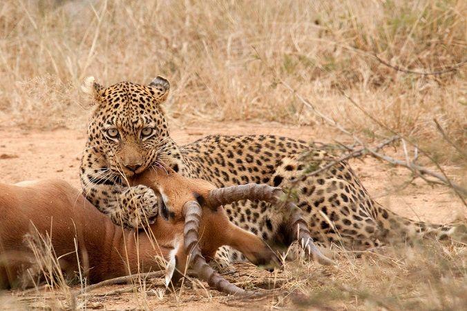 leopardo-cazando-impala