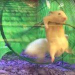 hamster en apuros