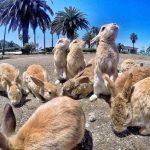 La isla de los conejos está en Japón