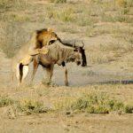 Leonas cazando un joven ñu en el Masai Mara