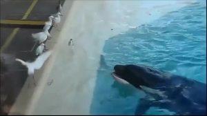 orca cazando pajaro