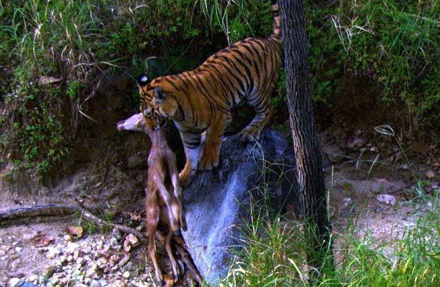 tigre-cazando-ciervo