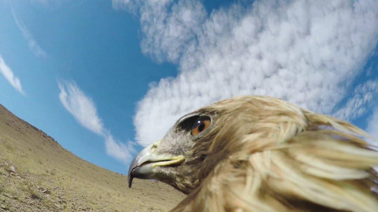Aguila En La Espalda los acantilados escoceses a vista de águila | animales en video